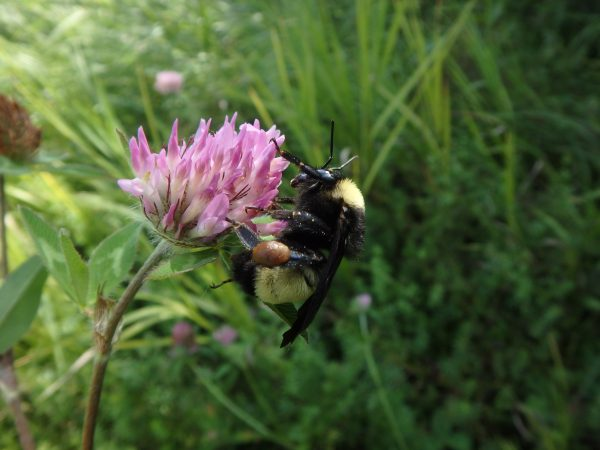 The American Bumblebee, a species once more commonly seen around Southern Ontario, is critically endangered and under threat of extinction.
