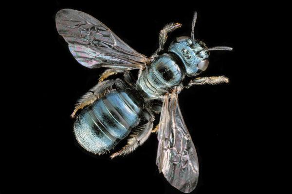 A Ceratina_calcarata carpenter bee