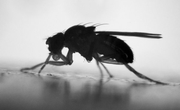 Common fruit fly, Drosophila melanogaster. By Heath MacMillan at York University