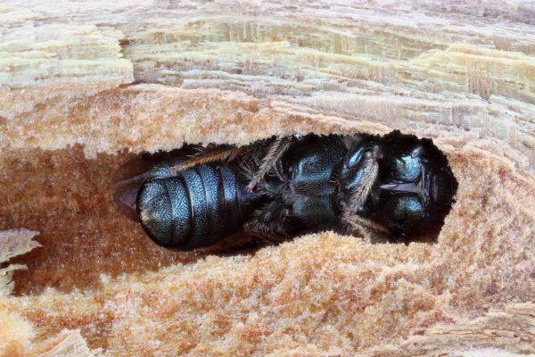 A founding nest female Ceratina_calcarata carpenter bee in a nest