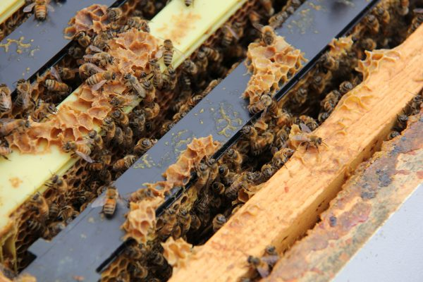 Worker honeybees in a hive at York University
