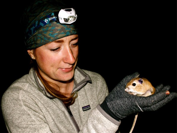 Ord's Kangaroo Rat is one of Alberta's most endangered animals. Photo courtesy of Wildlife Preservation Canada