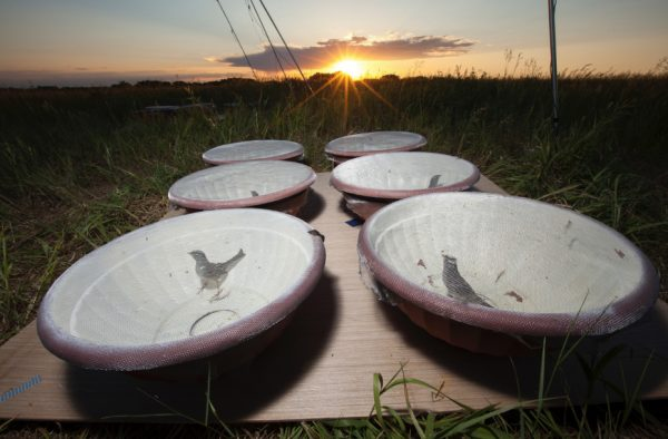 white-crowned sparrows in dishes in a field