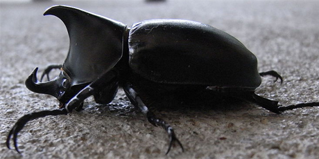 Side photo of a rhinoceros beetle