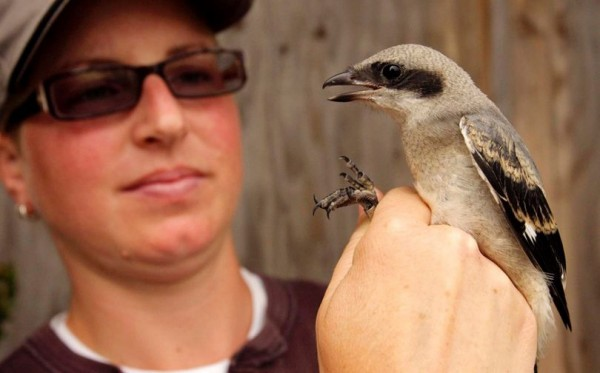 Saving the songbirds. This Eastern Loggerhead Shrike is a critically endangered songbird. Photo courtesy of Wildlife Preservation Canada