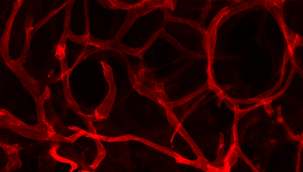 blood vessels in fat tissue