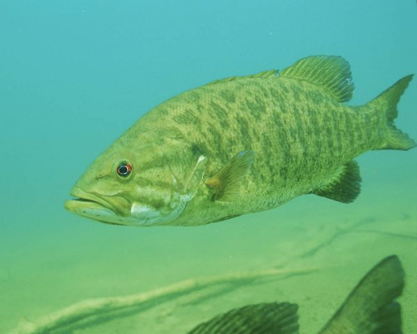 The invading smallmouth bass fish. Credit: U.S. Fish and Wildlife Service