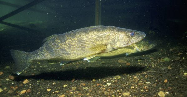 Popular recreational and commercial fish, the walleye. Credit: U.S. Fish and Wildlife Service