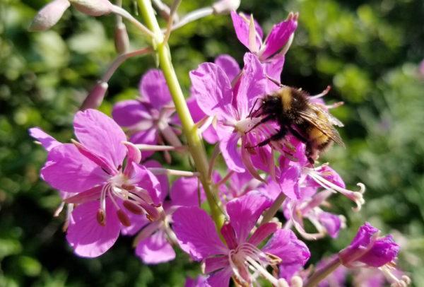 yellow-banded bumblebee on purple flower