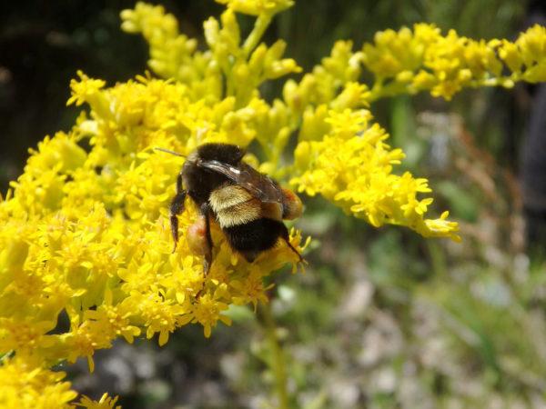 yellow-banded bumblebee on yellow flowers