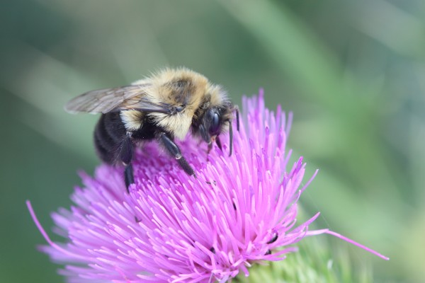 Image of worker bee on thistle